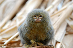 Pygmy marmoset. Is the smallest monkey in the world Stock Image