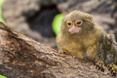 Pygmy Marmoset Royalty Free Stock Photos
