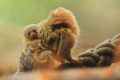 Pygmy marmoset. The adult pygmy marmoset with her juvenile Stock Photo