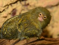 Pygmy marmoset Royalty Free Stock Images