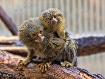 Pygmy marmoset, Callithrix pygmaea niveiventris, female with baby. The Pygmy marmoset, Callithrix pygmaea niveiventris, female with baby Royalty Free Stock Image