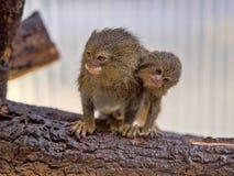Pygmy marmoset, Callithrix pygmaea niveiventris, female with baby. One Pygmy marmoset, Callithrix pygmaea niveiventris, female with baby Stock Photos
