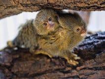 Pygmy marmoset, Callithrix pygmaea niveiventris, female with baby. One Pygmy marmoset, Callithrix pygmaea niveiventris, female with baby Royalty Free Stock Images