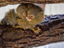 Pygmy marmoset, Callithrix pygmaea niveiventris, female with baby. One Pygmy marmoset, Callithrix pygmaea niveiventris, female with baby Royalty Free Stock Photos
