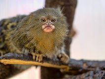 Pygmy marmoset, Callithrix pygmaea niveiventris, female with baby. One Pygmy marmoset, Callithrix pygmaea niveiventris, female with baby Stock Photography
