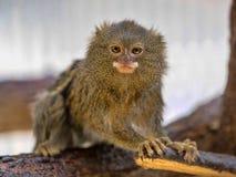 Pygmy marmoset, Callithrix pygmaea niveiventris, female with baby. One Pygmy marmoset, Callithrix pygmaea niveiventris, female with baby Stock Images