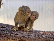Pygmy marmoset, Callithrix pygmaea niveiventris, female with baby. One Pygmy marmoset, Callithrix pygmaea niveiventris, female with baby Stock Image