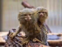 Pygmy marmoset, Callithrix pygmaea niveiventris, female with baby royalty free stock image