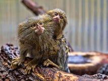 Pygmy marmoset, Callithrix pygmaea niveiventris, female with baby. The Pygmy marmoset, Callithrix pygmaea niveiventris, female with baby Stock Photos