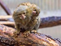 Pygmy marmoset, Callithrix pygmaea niveiventris, female with baby. The Pygmy marmoset, Callithrix pygmaea niveiventris, female with baby Stock Image