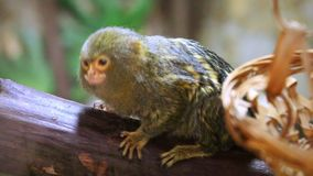 Pygmy Marmoset Cebuella pygmaea climbing up tree trunk. Pygmy Marmoset Cebuella pygmaea is climbing up tree trunk and looking around stock video footage