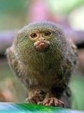 Pygmy marmoset (Cebuella pygmaea) Royalty Free Stock Photography