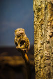 The pygmy marmoset (Cebuella pygmaea) Royalty Free Stock Photo
