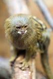 Pygmy marmoset or Cebuella pygmaea Royalty Free Stock Photo