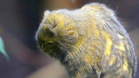 Pygmy marmoset (Cebuella pygmaea) Royalty Free Stock Photo