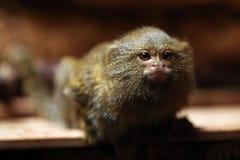 Pygmy marmoset (Cebuella pygmaea). stock photo