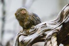 Pygmy marmoset & x28 Cebuella pygmaea& x29  στοκ εικόνα με δικαίωμα ελεύθερης χρήσης