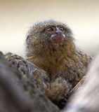 Pygmy marmoset or dwarf monkey Royalty Free Stock Photography