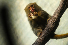 A Pygmy Marmoset Monkey. The smallest monkey in the world, eating a banana. This species is native to the rainforest canopies of western Brazil, southeastern Royalty Free Stock Photo