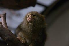 Pygmy Marmoset New World Monkey Royalty Free Stock Photos