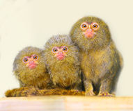 The Pygmy Marmoset. Portrait of funny family. The Pygmy Marmoset (Cebuella pygmaea). Picture with shallow DOF Stock Image