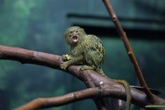 Pygmy marmoset (pygmaea Cebuella) Στοκ Φωτογραφίες