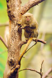 Pygmy marmoset Royalty Free Stock Image