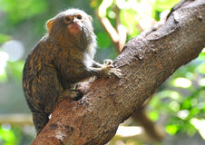 Pygmy Marmoset. The pygmy marmoset is a small New World monkey native to rainforests of the western Amazon Basin in South America. It is notable for being the stock photo