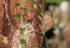 Pygmy Marmoset on tree Stock Photos