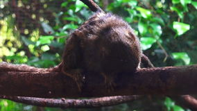 Pygmy marmoset on a tree stock footage