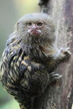 Pygmy marmoset Stock Photo