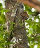 A Pygmy Marmosete on a tree Stock Photo