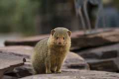 Pygmy mongoose Royalty Free Stock Image