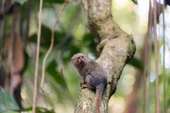 Pygmy Monkey Stock Images
