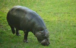 Pygmy nijlpaard Royalty-vrije Stock Foto's