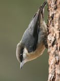 Pygmy Nuthatch. A portrait of a Pygmy Nuthatch, a common bird in parts of the west Stock Photography