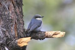 Pygmy Nuthatch (Sitta pygmaea) Stock Images