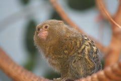 Pygmy Ouistiti (Callithrix-pygmaea) Royalty-vrije Stock Fotografie