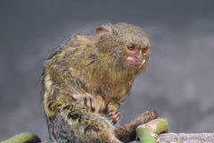Pygmy Ouistiti die dicht omhoog zitten stock foto's