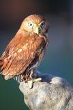 Pygmy owl Stock Image
