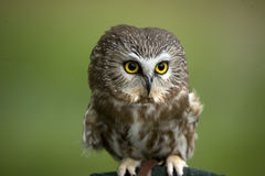 Pygmy owl. A closeup view of a perched Pygmy owl. Genus: Glaucidium stock image