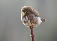 Pygmy Owl - Glaucidium gnoma Royalty Free Stock Image