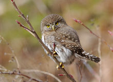 Pygmy Owl - Glaucidium gnoma. A cute little Pygmy Owl perched in a tree in the wild Royalty Free Stock Images