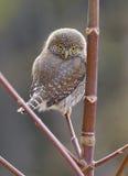 Pygmy Owl - Glaucidium gnoma Stock Photography