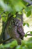 Pygmy owl Royalty Free Stock Image