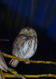 Pygmy Owl Stock Photos