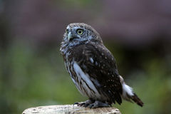 Pygmy owl Royalty Free Stock Photography
