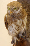 Pygmy owl taxidermy Royalty Free Stock Photos