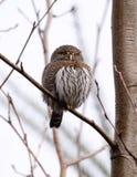 Pygmy Owl Royalty Free Stock Photo