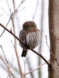 Pygmy Owl Stock Photography